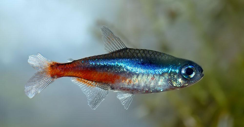 ماهی تترای نئون