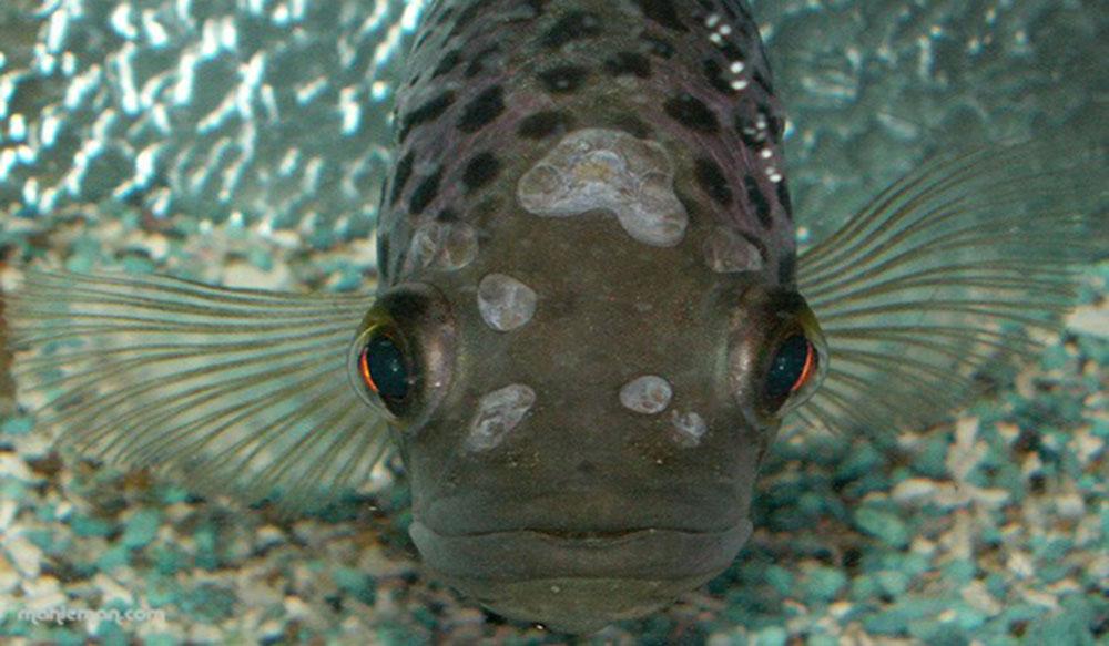 ماهی آلوده به بیماری ایکتیوفونوس