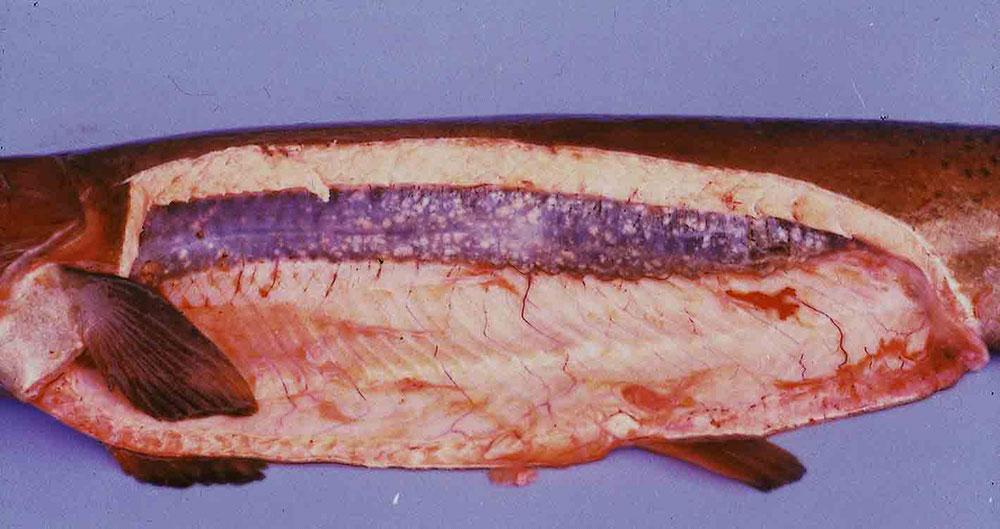 بیماری های قارچی داخلی / بیماری سنباده ای ( Ichthyophonus hoferi )