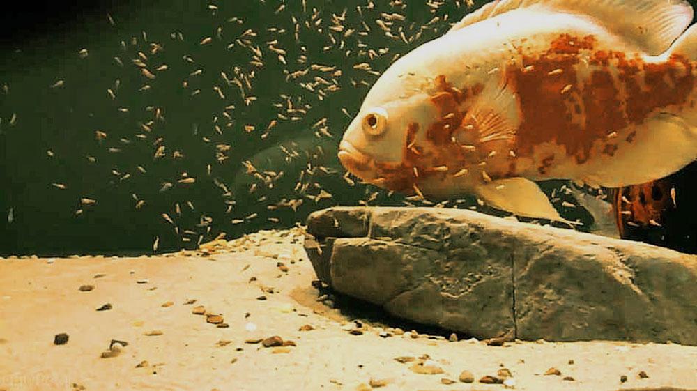 اسکار هایی که به خوبی جفت شده باشند تعداد زیادی بچه ماهی تولید خواهند نمود