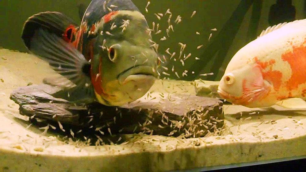 ماهی اسکار و تعداد زیادی بچه ماهی