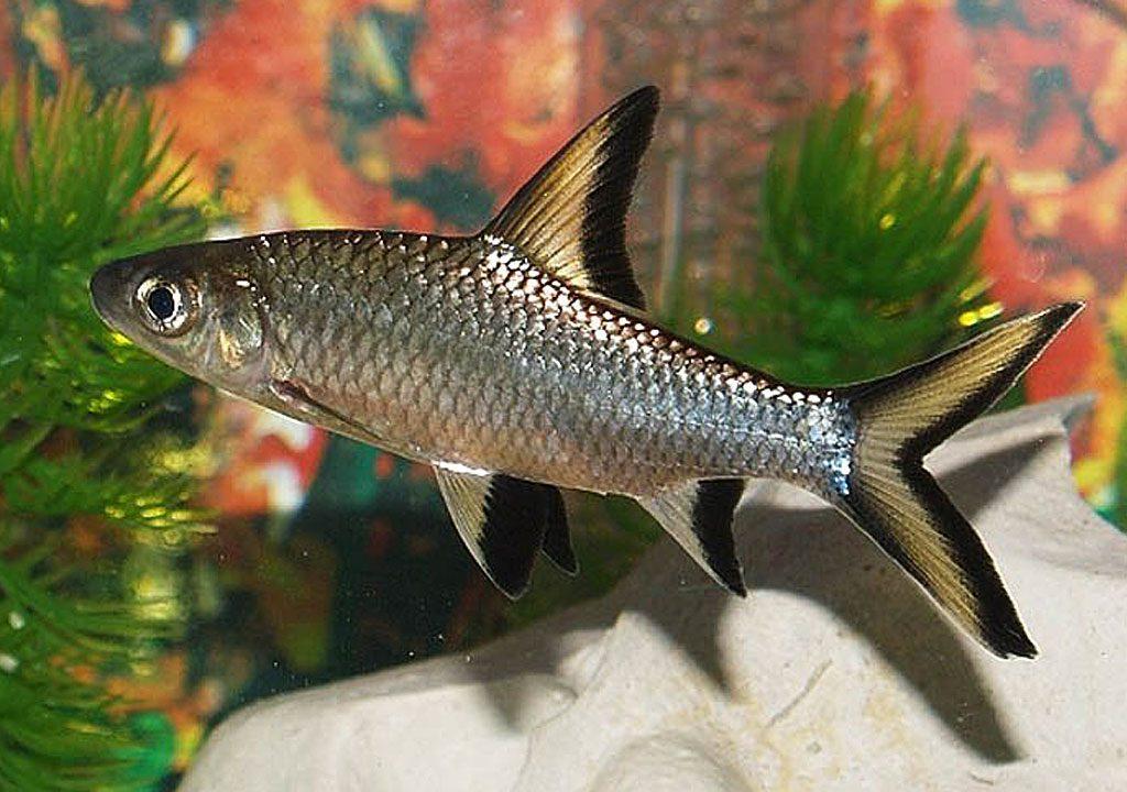 ماهی شارک
