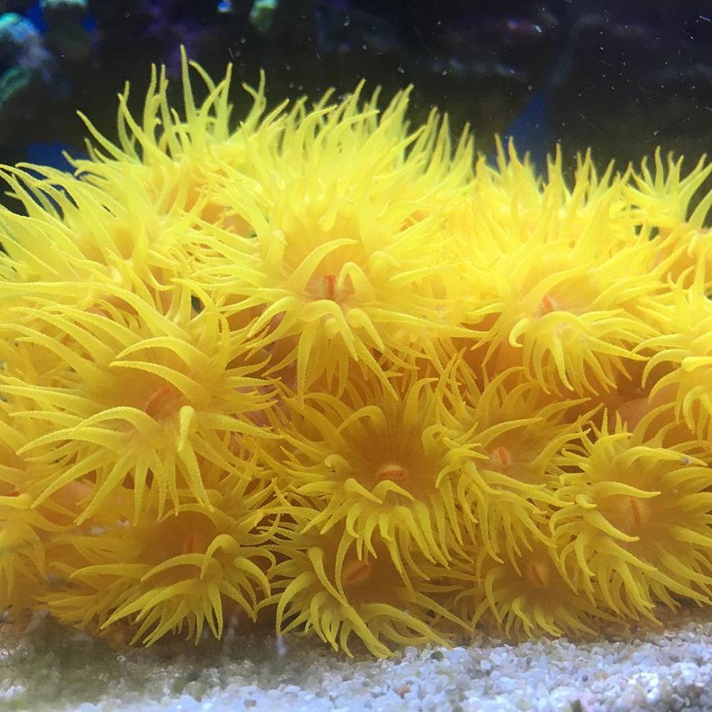مرجان قیطانی اخگر ، Distichopora (yellow) spp