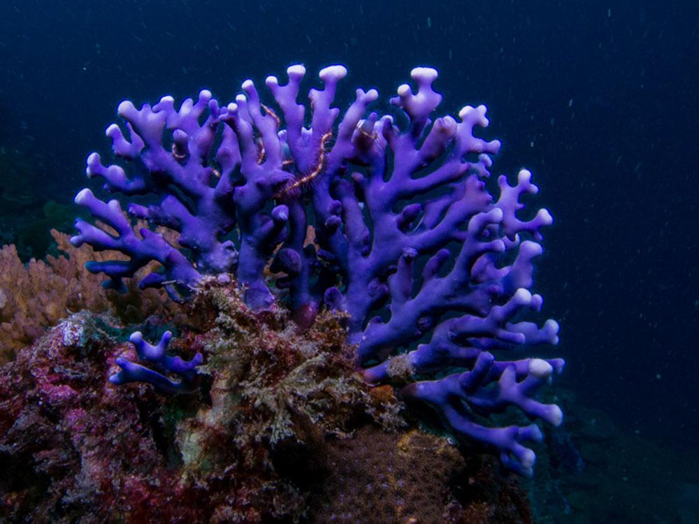 مرجان قیطانی بنفش ، Distichopora (violet) spp