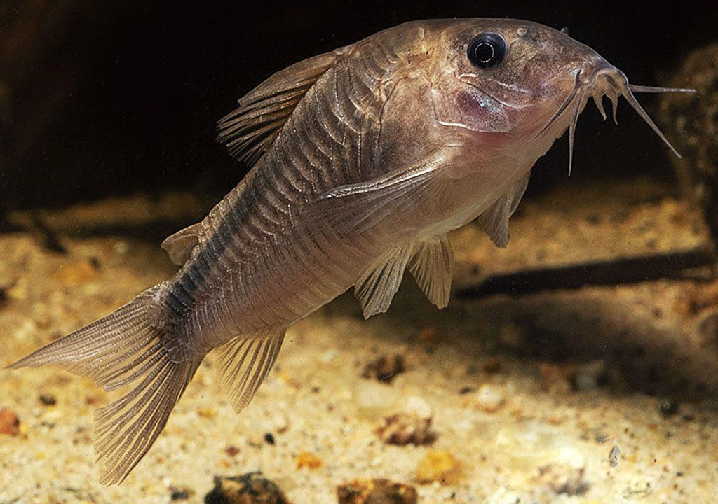 ماهی کوریدوراس