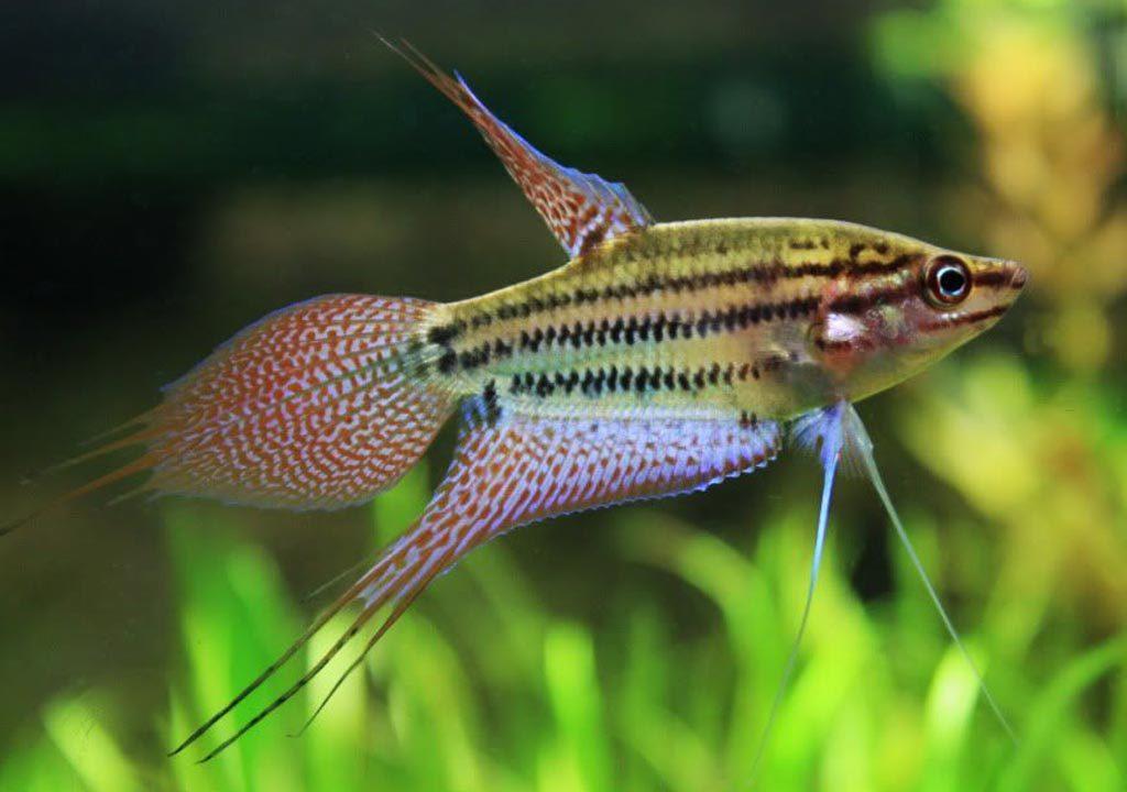 ماهی گورامی صداساز