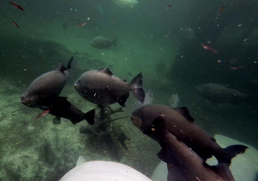 ماهی پیرانای سیاه