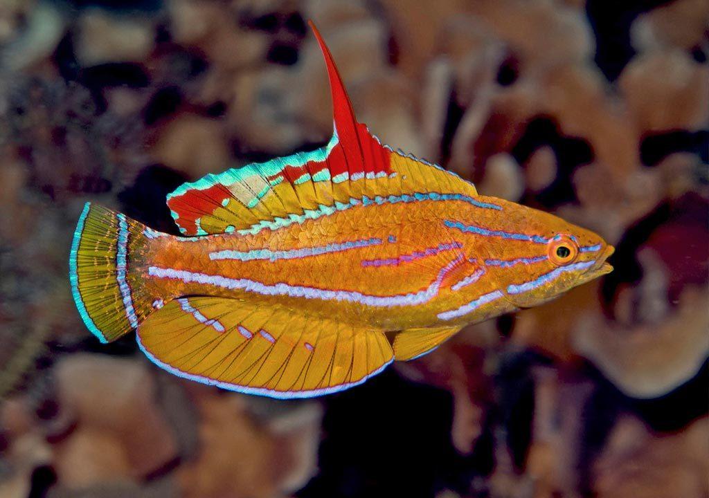 ماهی راس فلاشر دم زرد