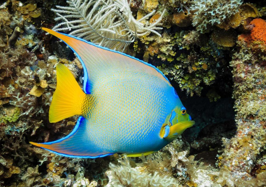 فرشته ماهی ملکه