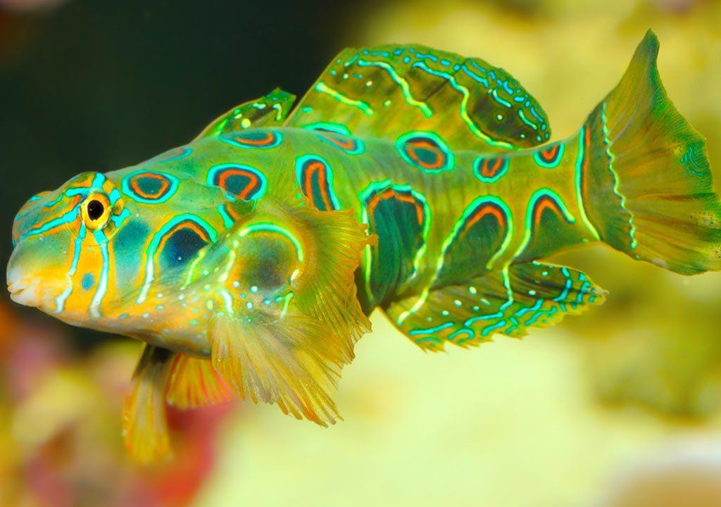 ماهی ماندارین ارتشی