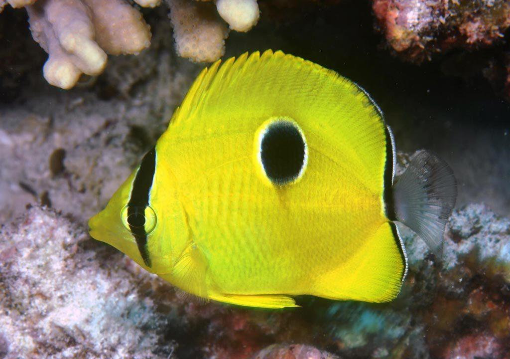 پروانه ماهی اشک چشم