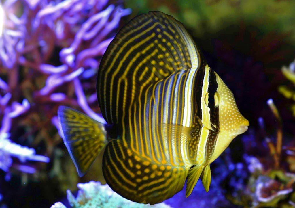 ماهی بادبانی دیسجاردنی