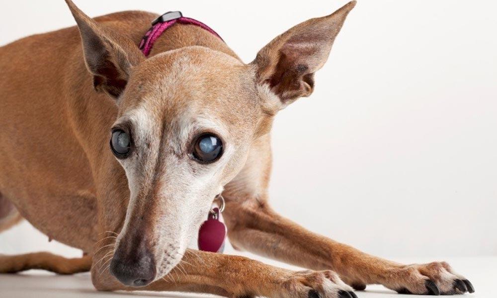 بیماری چشم سگ