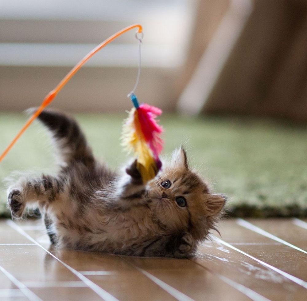 یکی از فواید نگهداری گربه بازی با آن هاست.