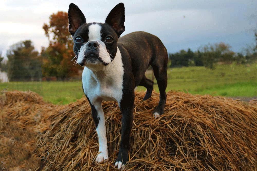 سگ بوستون
