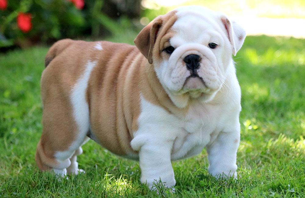 سگ بولداگ