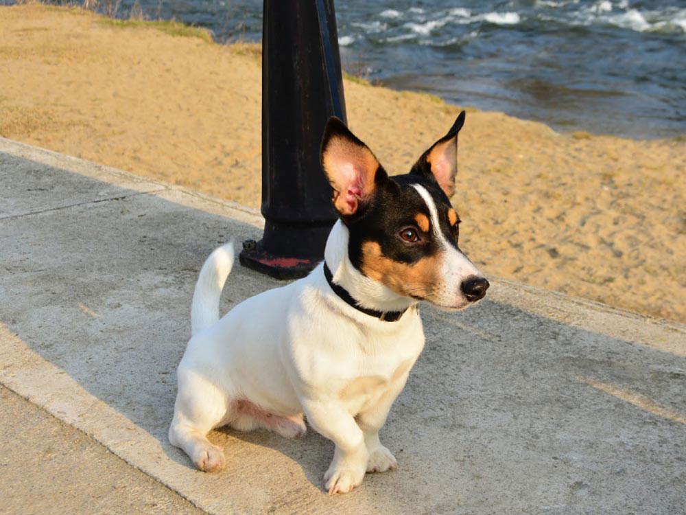 سگ توی فاکس تریر