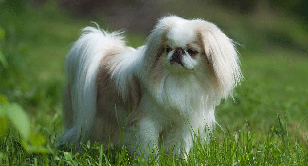 سگ جپنیز چین