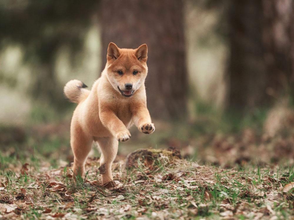 سگ نژاد شیبا اینو