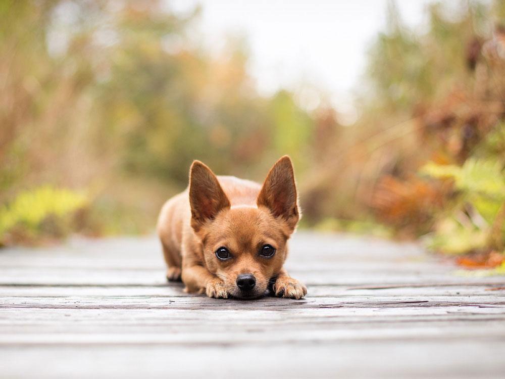 سگ نژاد شی هوا هوا