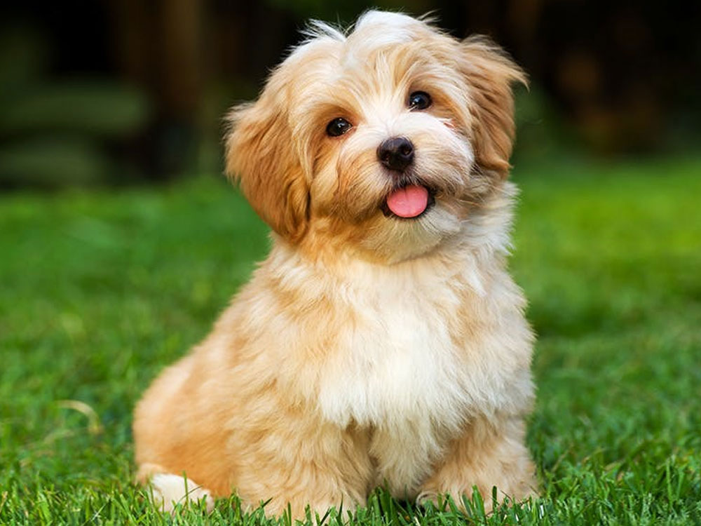 سگ نژاد هاوانیز Havanese