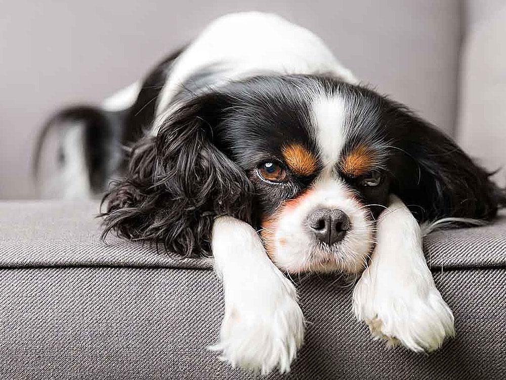سگ کاوالیر کینگ چارلز اسپانیل Cavalier King Charles Spaniel