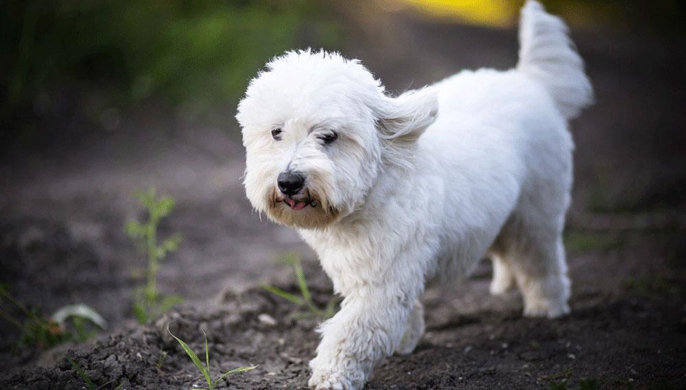 سگ کاتن دتویلیر