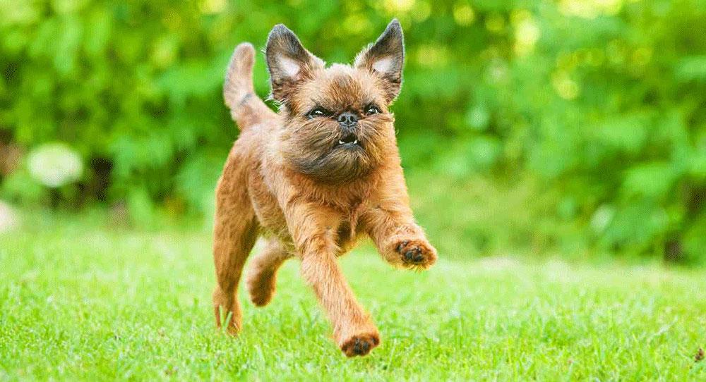 سگ گریفون بروکسلی