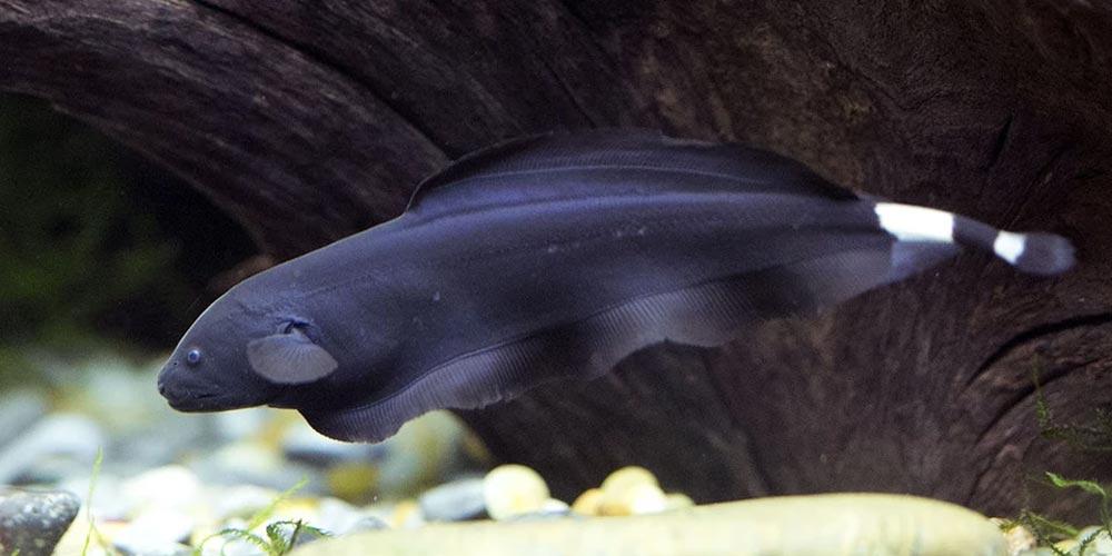 آب شیرین ماهی آب شیرین Apteronotus albifrons