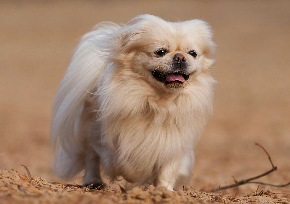 سگ نژاد پیکینیز