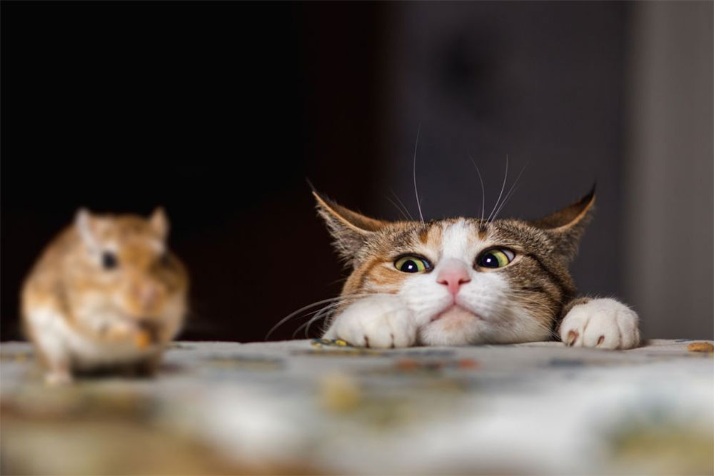 علاقه گربه شکار موش
