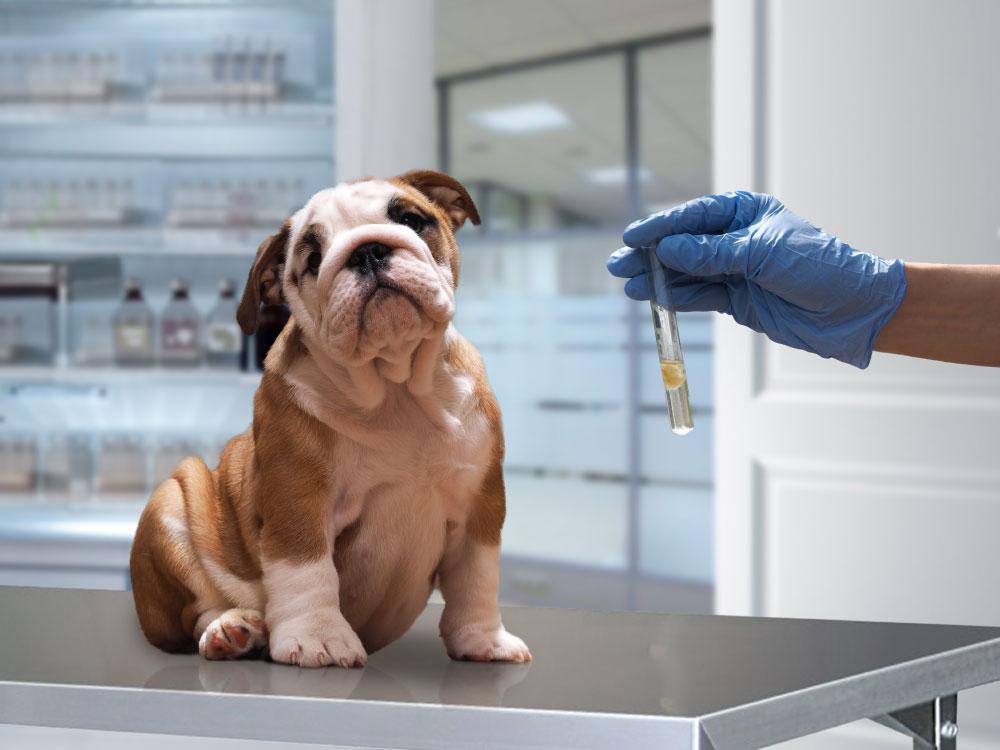 پیش گیری از هپاتیت عفونی سگ ها