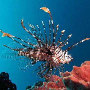 خروس ماهی قرمز ولیتان - Volitan Lionfish