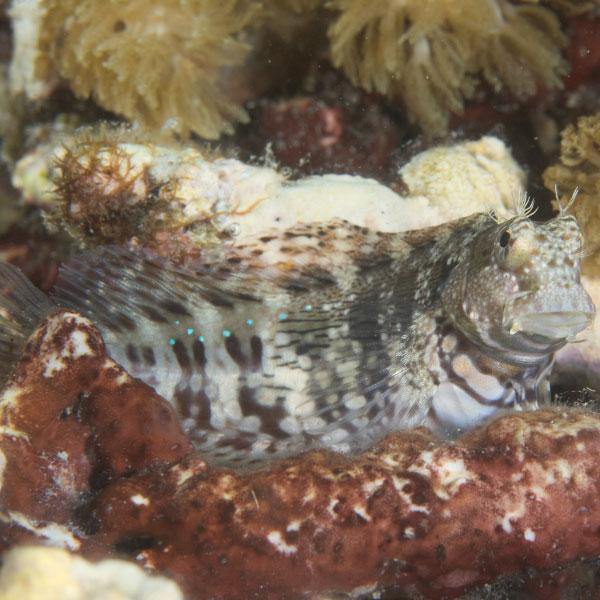 ماهی شاه بلنی - Jeweled Blenny