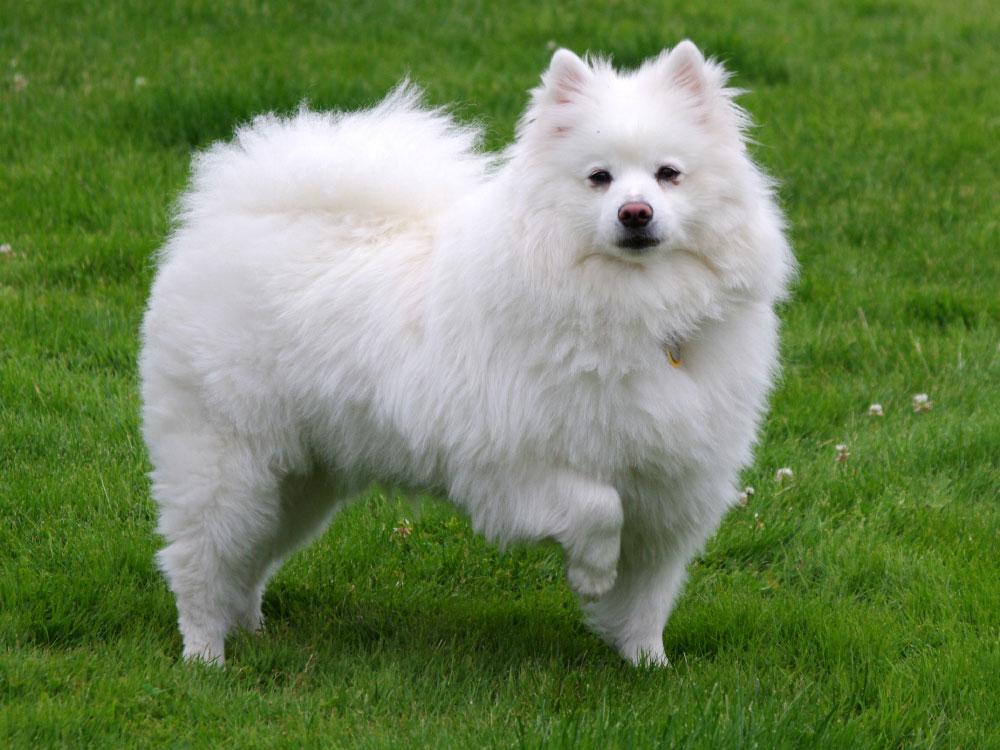 سگ اشپیتس