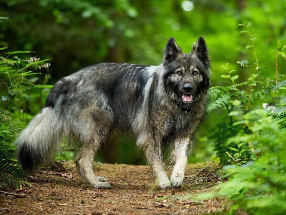 سگ آمریکن تاندرا شپرد