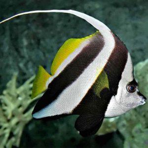 پروانه ماهی آنتن دار - Longfin Bannerfish