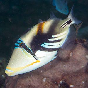 پیکاسو هومو - Humu Triggerfish