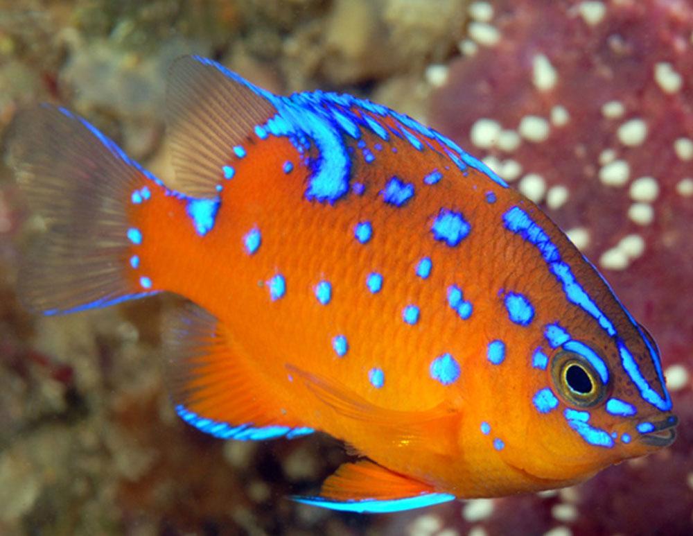 ماهی زینتی دامسل دامسل کاریبالدي