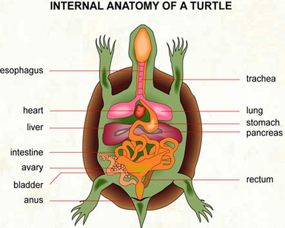 اجزا مختلف بدن لاکپشت