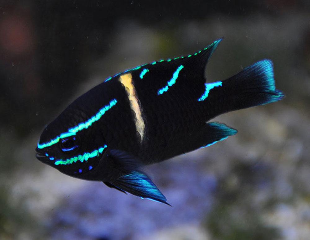ماهی زینتی دامسل اکسیدان