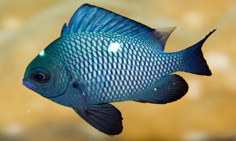 ماهی زینتی دامسل دومینو