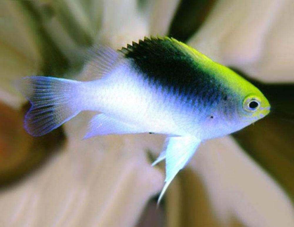 ماهی زینتی دامسل دامسل رولندی