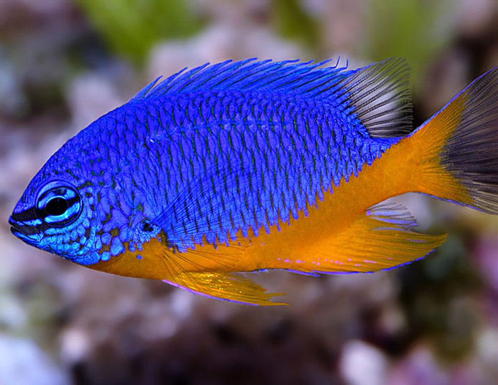 ماهی زینتی دامسل
