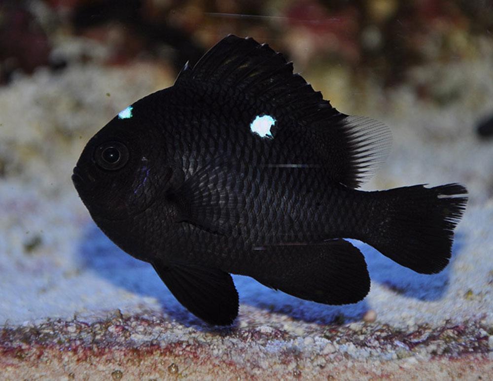 ماهی دامسل سه خال